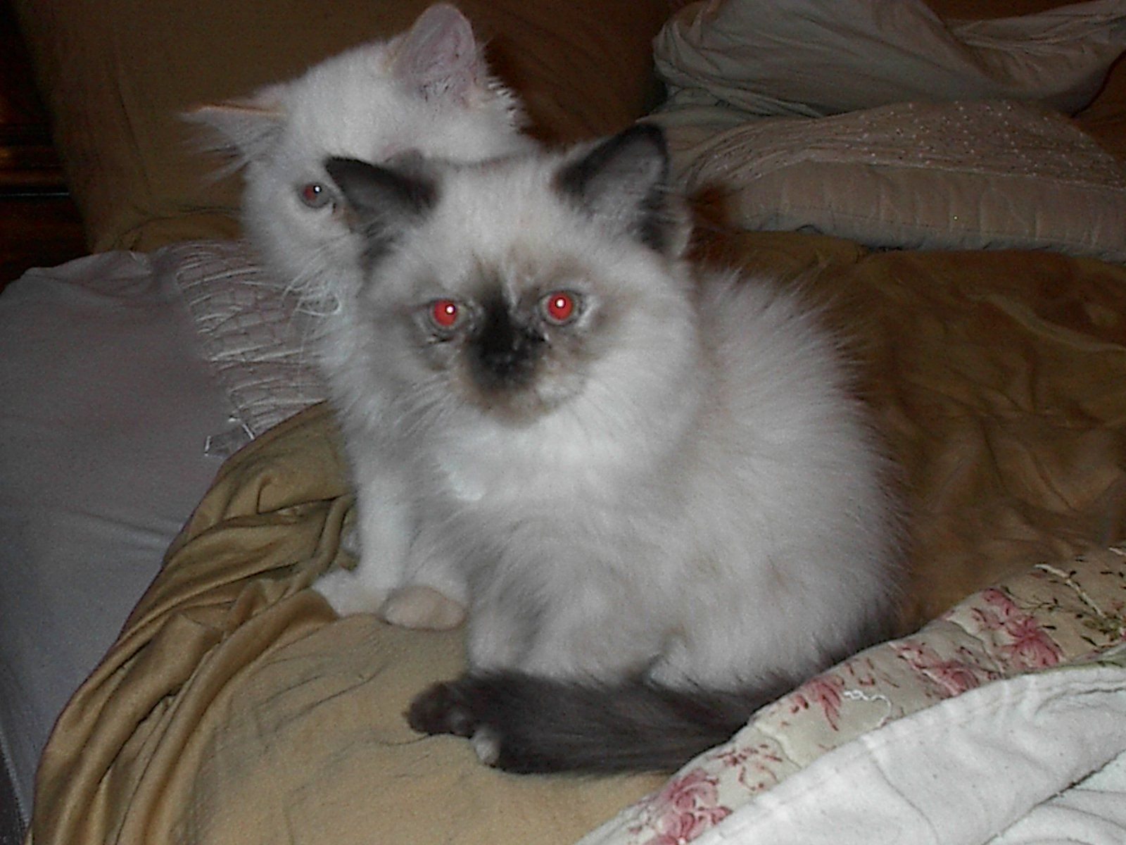HIMALAYAN KITTENS For Sale Cats Paper Shop Free