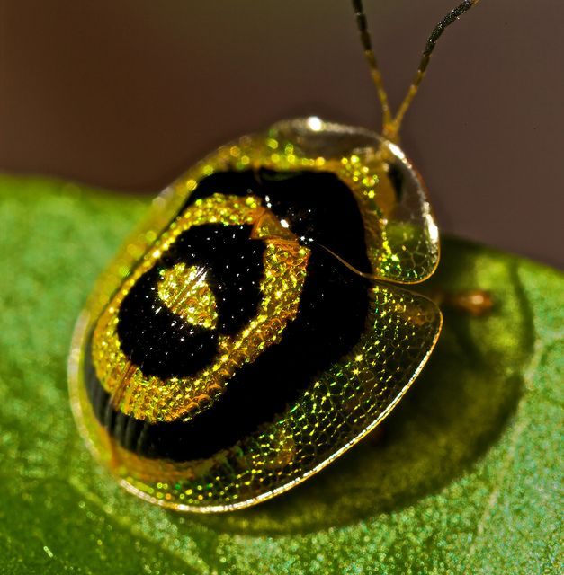 Target Tortoise Beetle Microctenochira Circinata Tortoise Beetle Bugs And Insects Beautiful Bugs
