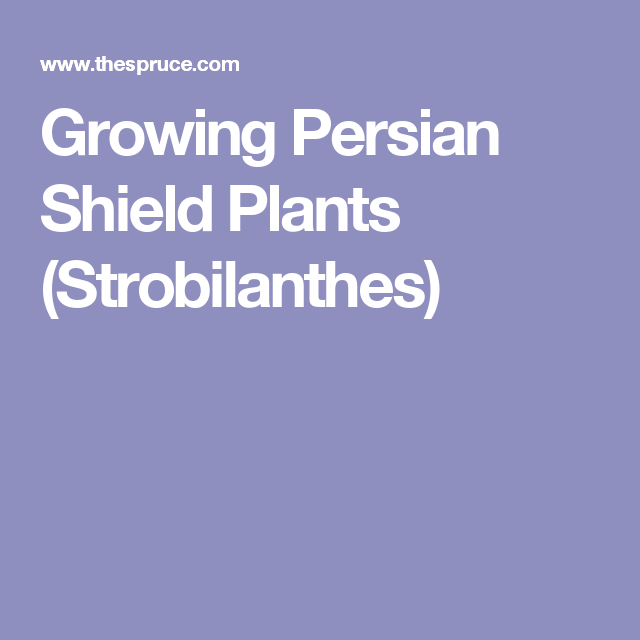 Growing Persian Shield Plants (Strobilanthes)