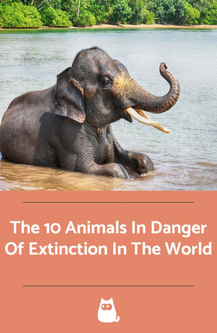 The 10 Animals In Danger Of Extinction In The World