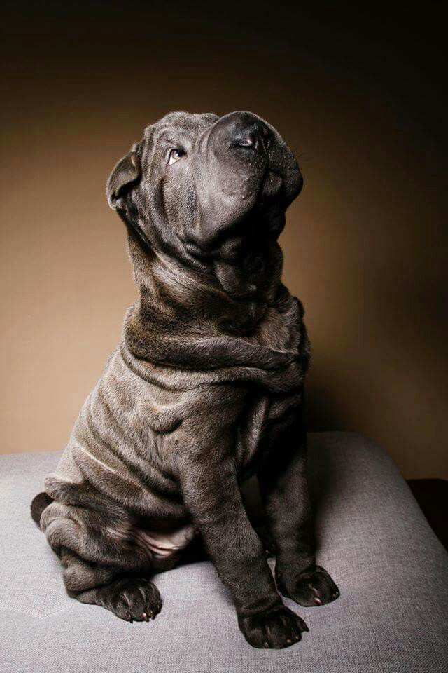 black sharpeis puppy