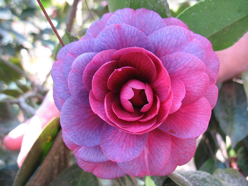 "C. Japonica ""Purple Passion"" Camellia flower, Beautiful"