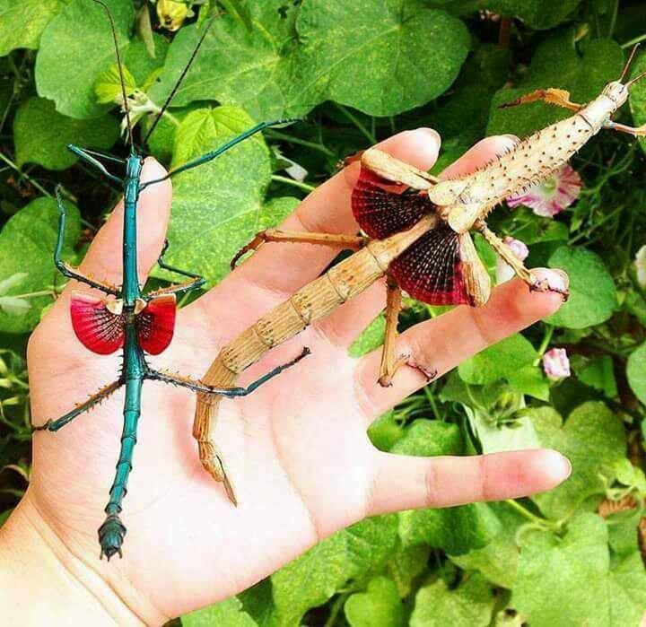 حشرة مدغشقر العصوية الذكر يسار الصورة والأنثى على اليمين Stick
