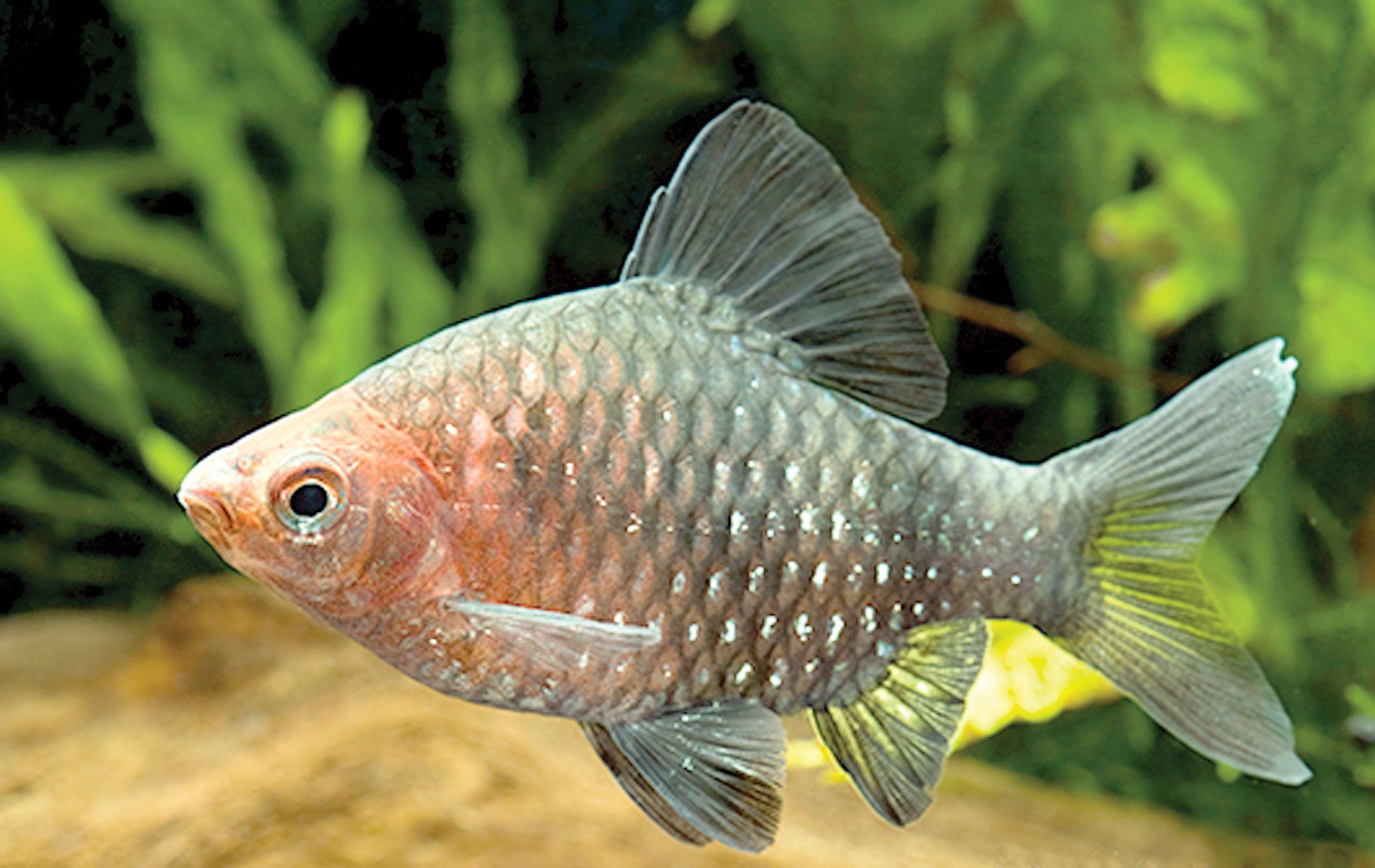 Black Ruby Barbs Fresh Water Fish Tank Aquarium Fish Tropical Fish