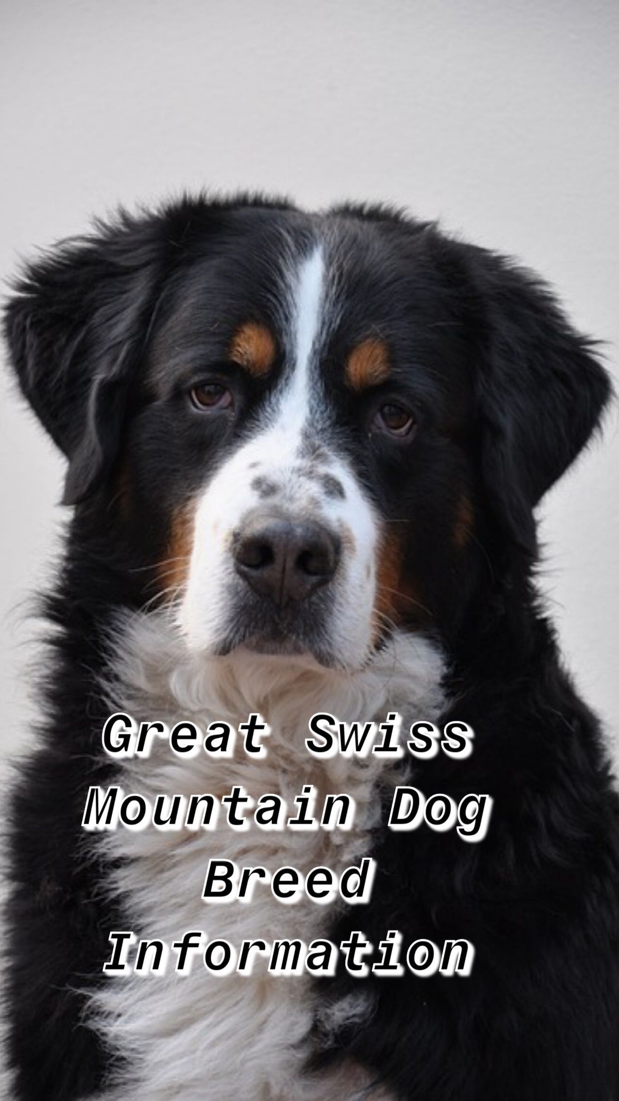 Greater swiss mountain dog breed information breed dog
