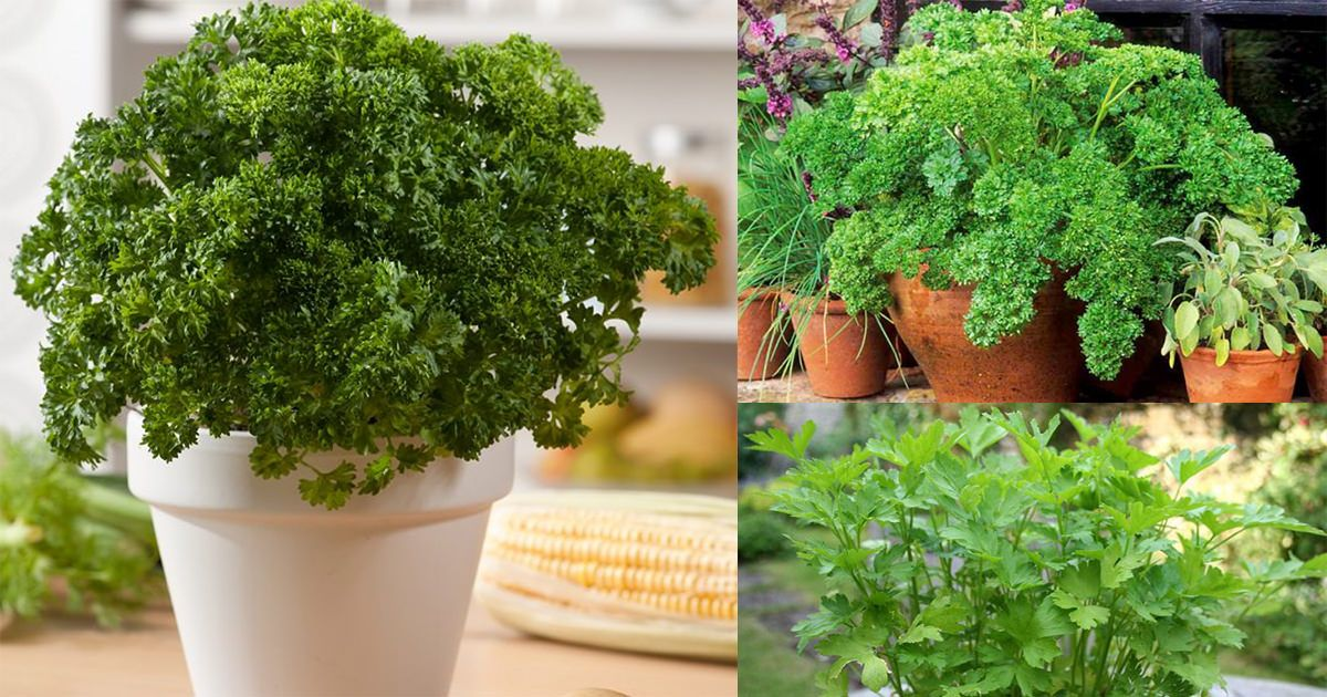 How To Grow Parsley In Pots Year Round In A Little To No Space Container Gardening Vegetables Growing Vegetables Indoor Vegetable Gardening