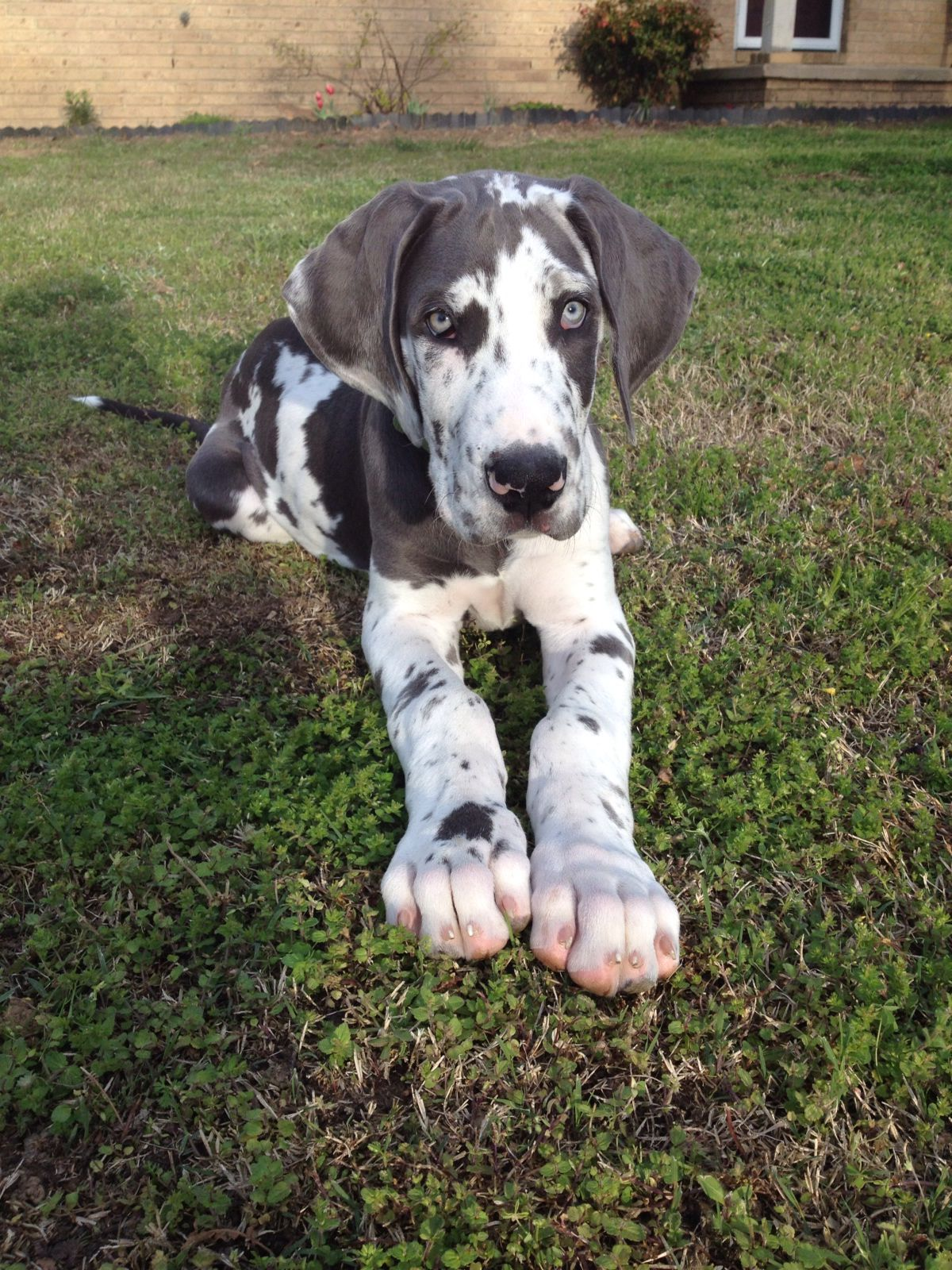My Blue Harlequin Great Dane Triton As A Puppy Miss When He Was