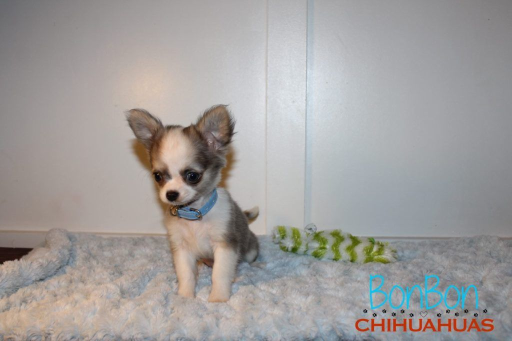 Chihuahua Puppies For Sale Baby Chihuahua Chihuahua Puppies Chihuahua Puppies For Sale