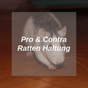 Farbratten Ratgeber Ratten Als Haustiere Farbratten Com Mit Bildern Farbratten Ratte Haustier