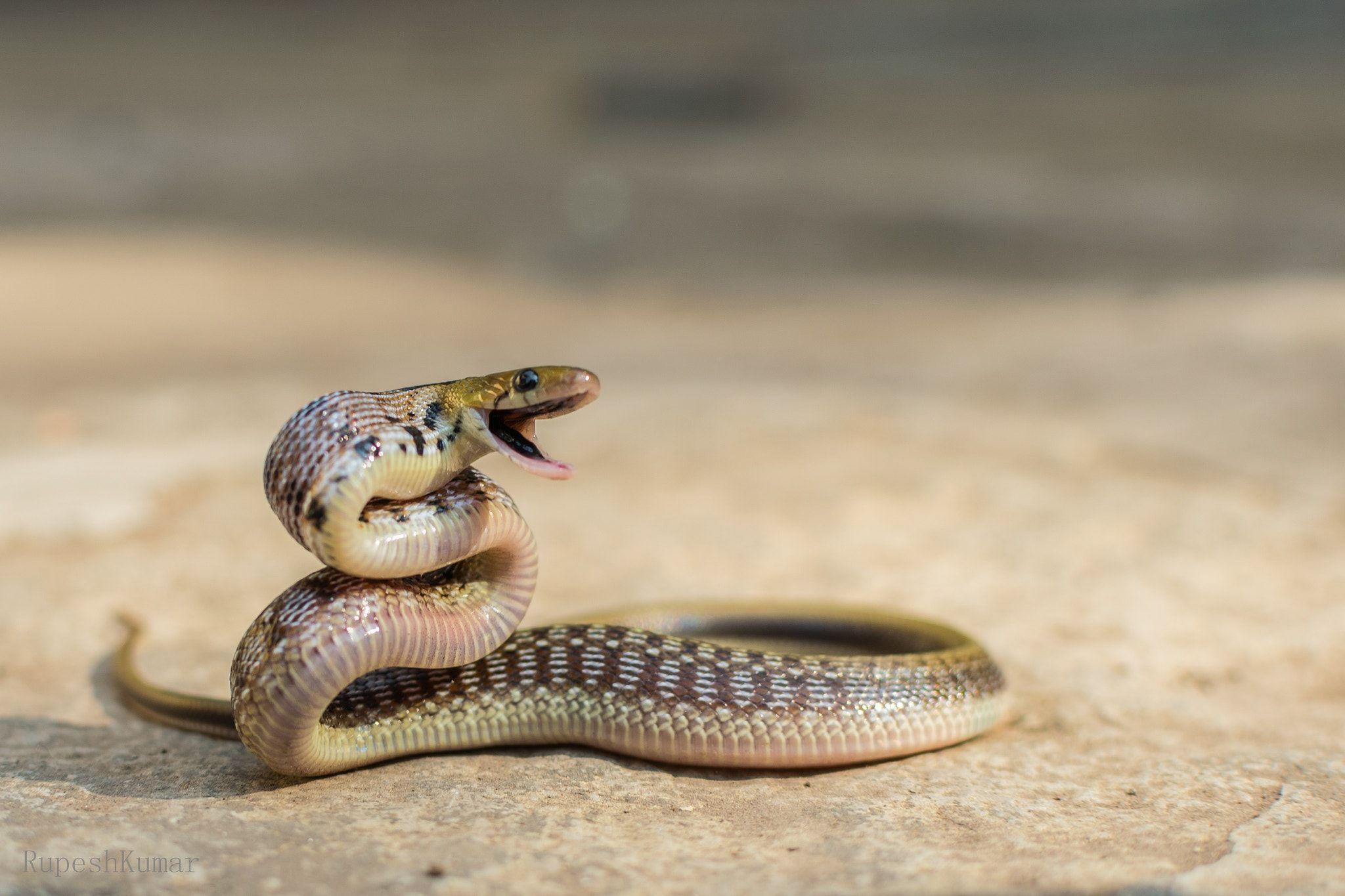 Trinket Snake Coelognathus Helena Trinket Snake Coelognathus