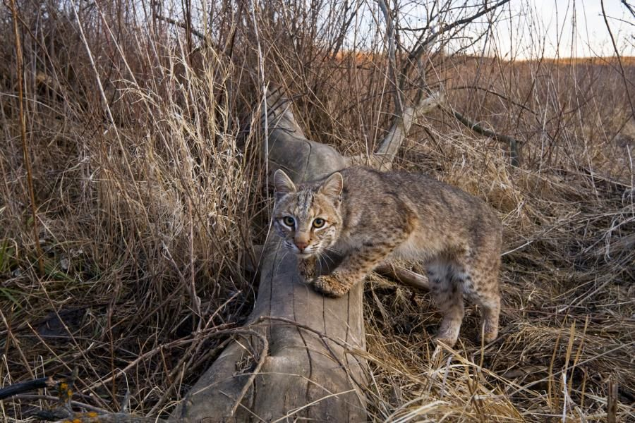 Great Plains America's Lingering Wild Bobcat near