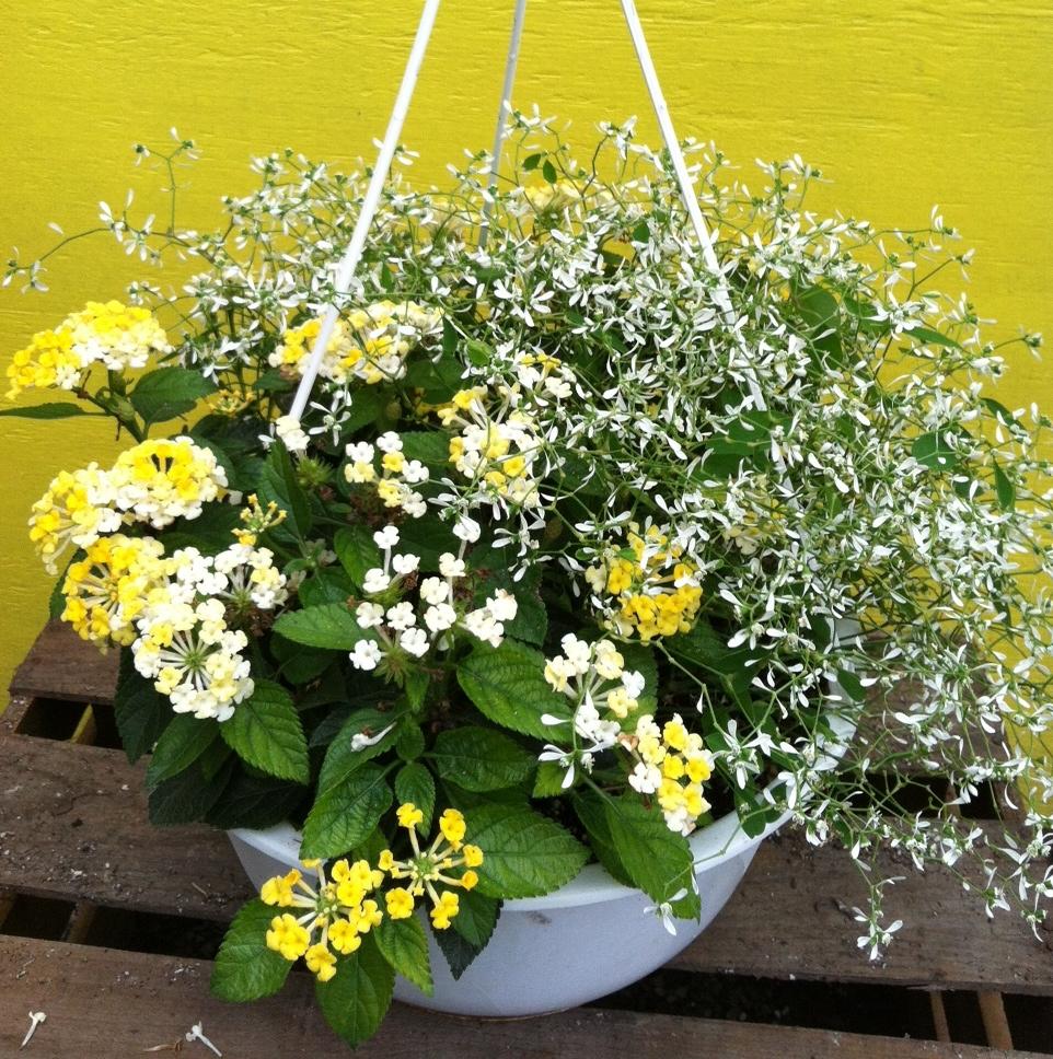 Lantana Hanging Basket Fair Hanging Flower Baskets  Lantana Hanging Basket  Jazzi's Flower Inspiration Design