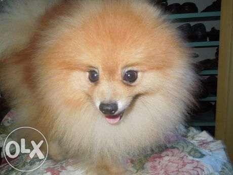 Pin By Harold Quinio On Pomeranian In 2020 Pomeranian Animal Lover Pomeranian For Sale