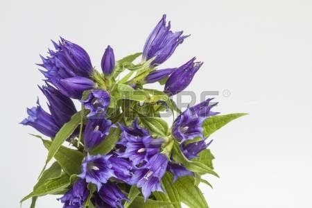 Gentiana asclepiadea photo