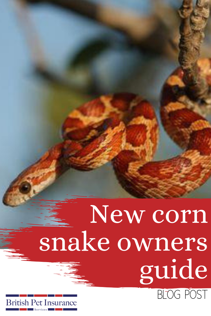 Corn snakes make good beginner pets because they are
