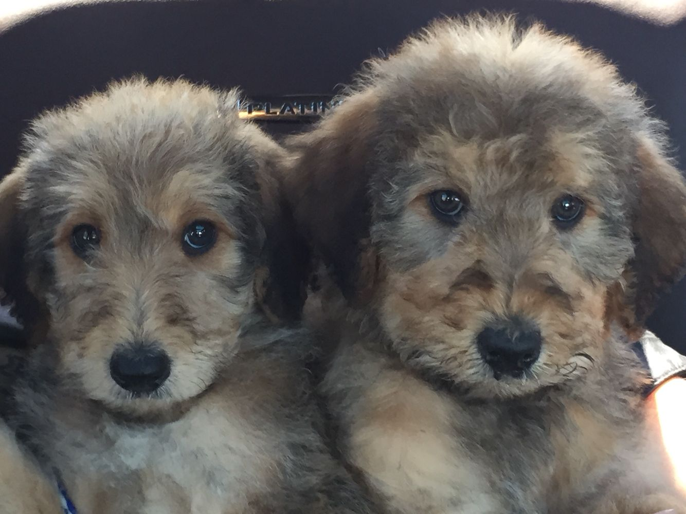 Meet Max and Kash our new Airedoodle puppies. Soooo stinkin cute ...