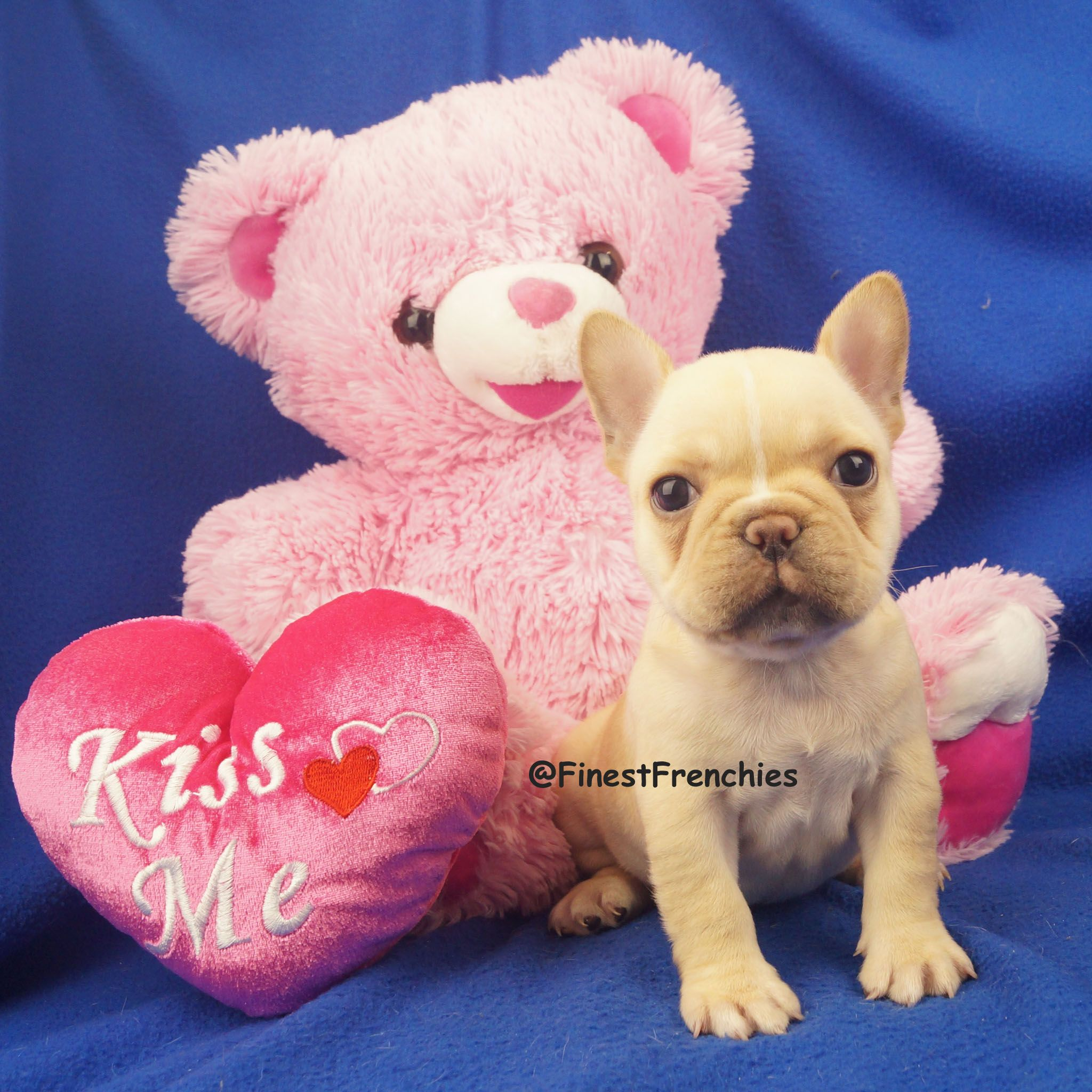 Kiss Me Do You Need An Adorable Frenchie Puppy To Give You Kisses