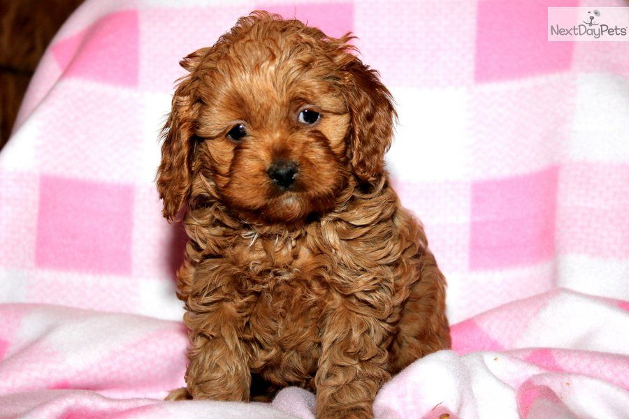 Cavapoo puppies, Puppys and Cute puppies on Pinterest