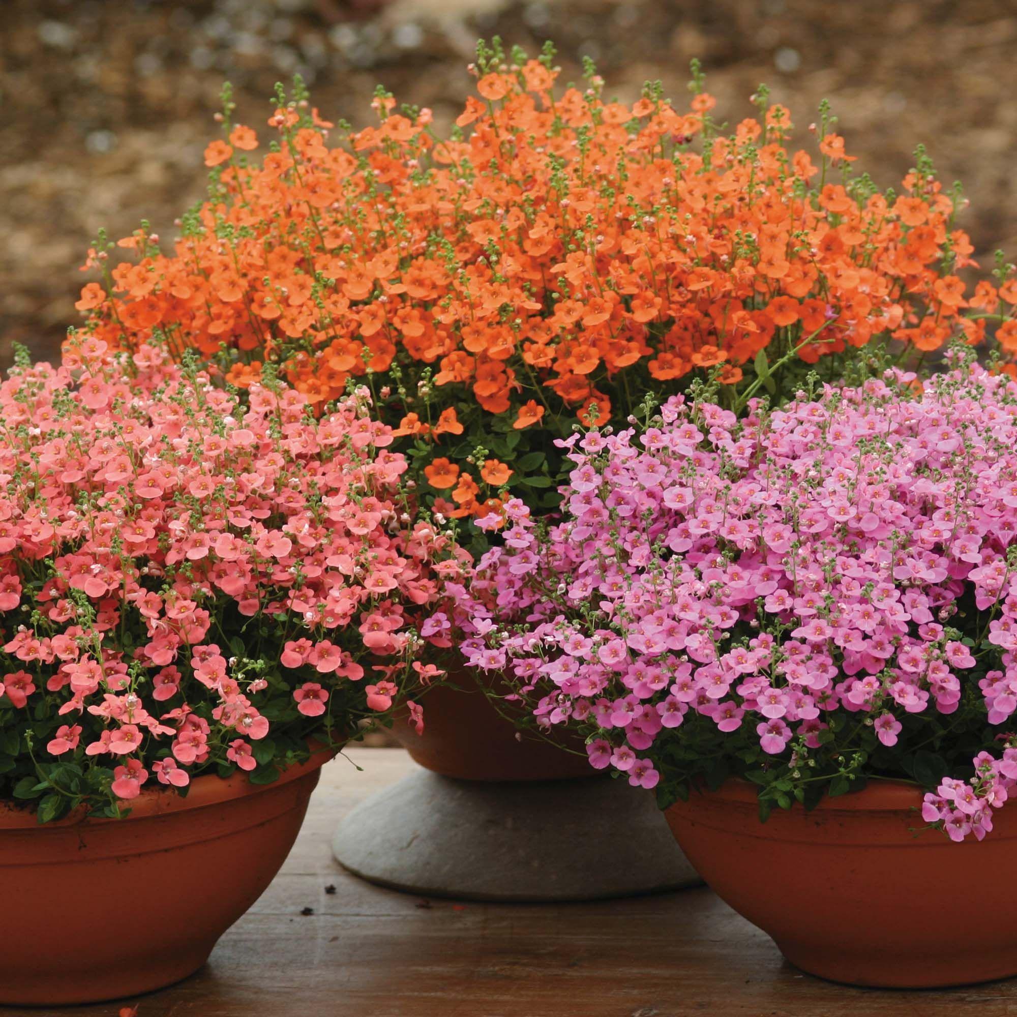 Flower Lobelia Cascade EU Standard Quality Seed Pack For Garden Beds Pots Red