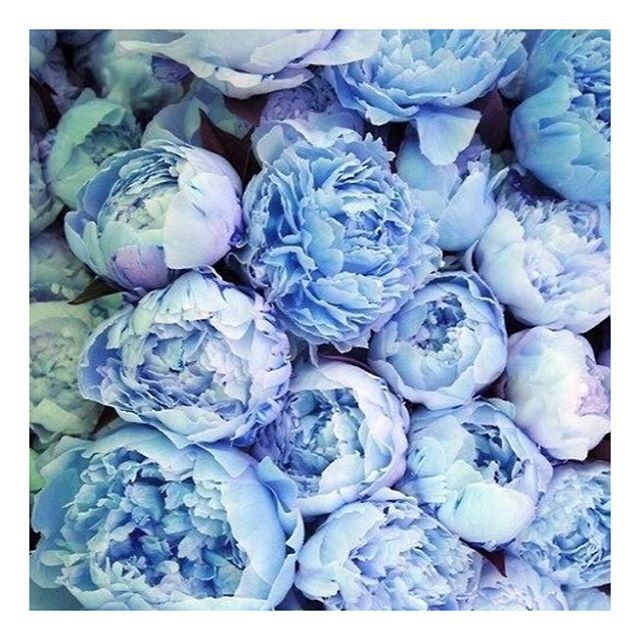 Fresh Blooms  #Peony #Peonies #Flowers #Bloom #Pretty #BabyBlue #Natural #Beauty #VidaGlow