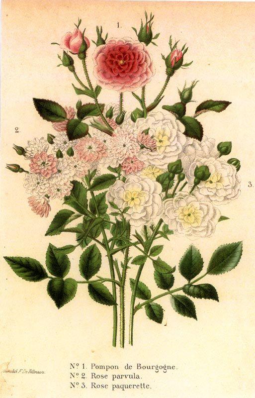 chromolithographie ancienne de roses pompon de bourgogne rose parvula et rose paquerette. Black Bedroom Furniture Sets. Home Design Ideas