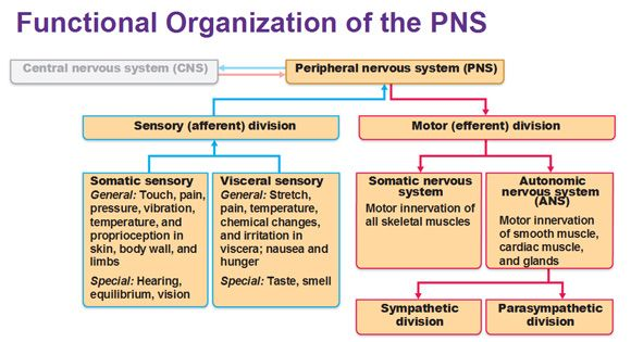 This shows you the functions of peripheral nervous system also pa rh pinterest