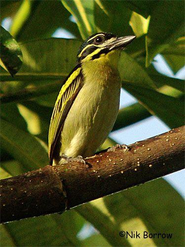 Red-rumped Tinkerbird, Ghana