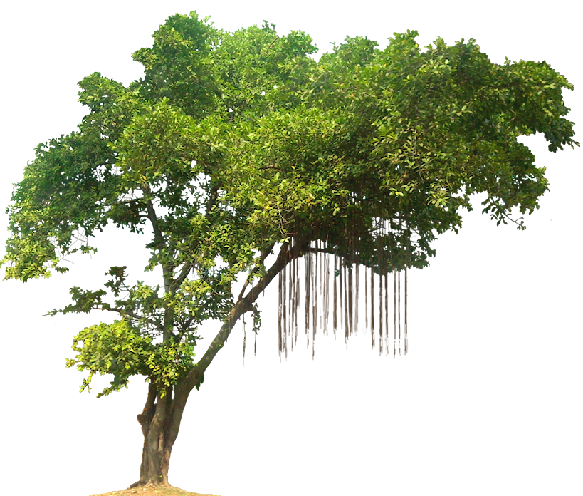 Ficushilii02l Png 819 696 Tree Photoshop Tropical Tree Jungle Tree