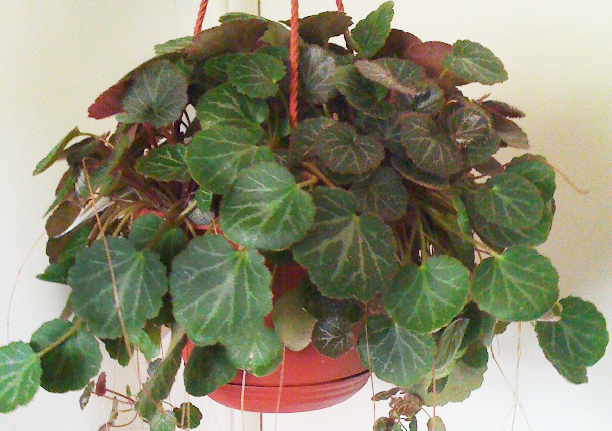 The Strawberry Begonia Plant Or Strawberry Geranium As It Is