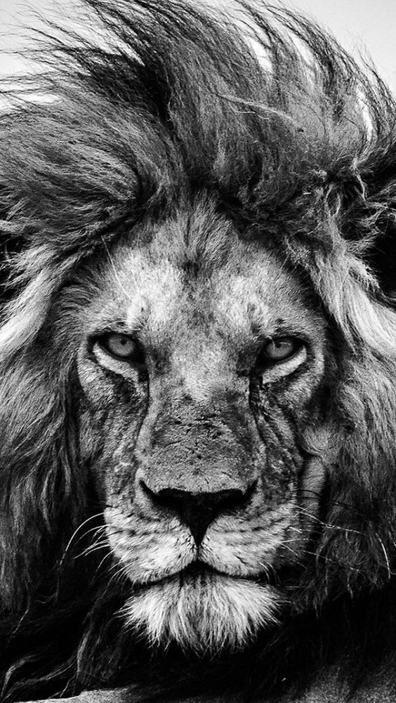 İphone Wallpaper black and white lion