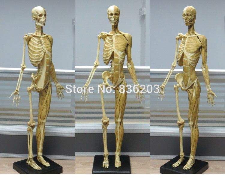 60cm Resin Muscle Human Anatomy Skull Model For Art In Trauma