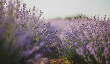 Tamanu Oil   Lavender / 1 oz. Gallery