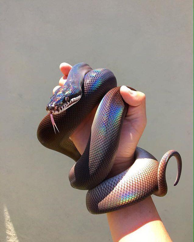 9 Cobras Que Sao Mais Bonitas Que Voce Com Imagens Cobra De