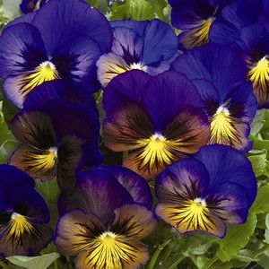 Pansy Viola Think Of Me Flower Seeds Pansies Flowers Annual Flowers