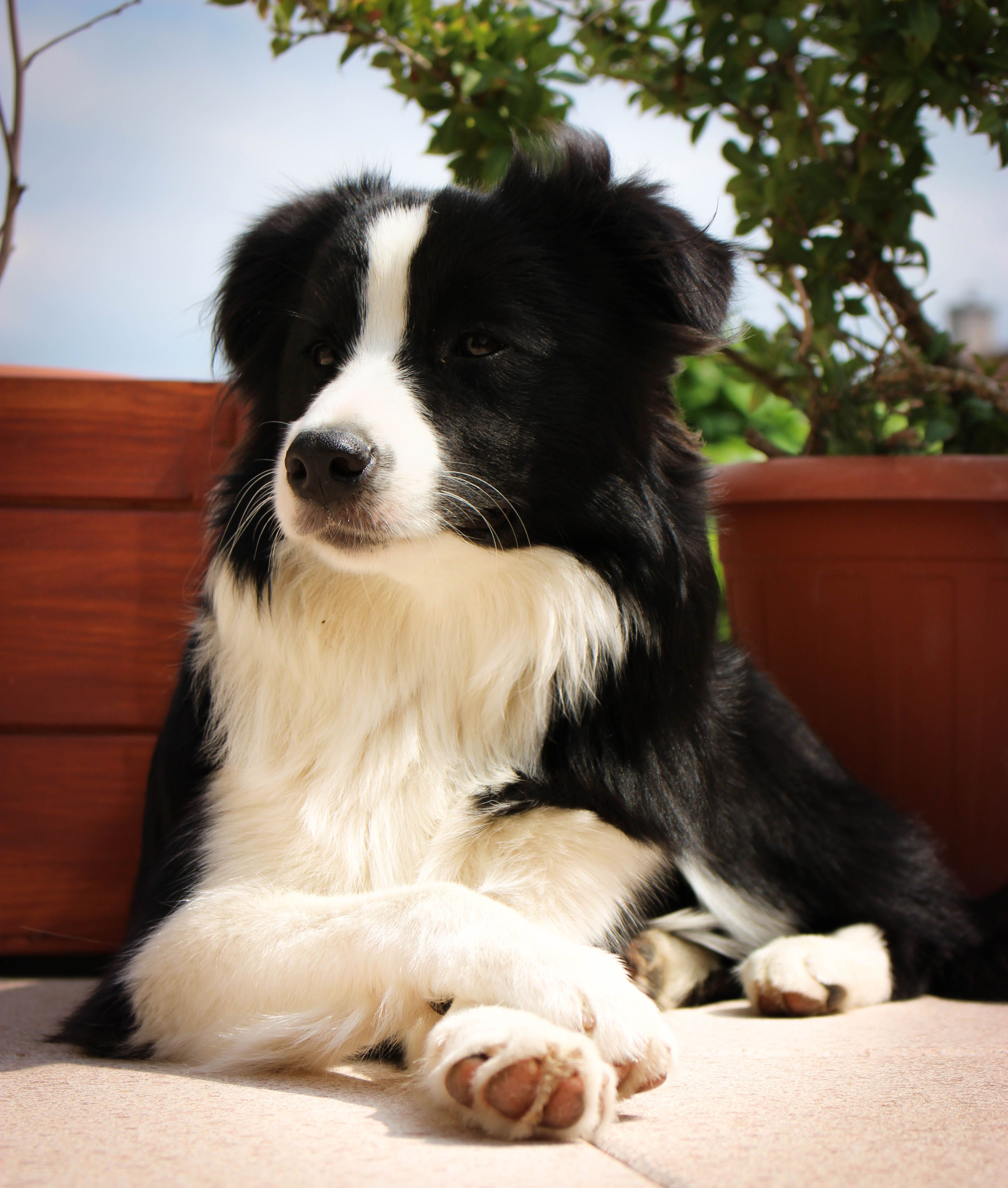 A Red Merle Border Collie Puppy With One Blue Eye And One Green Eye Puppies Maremma Sheepdog Puppy Border Collie