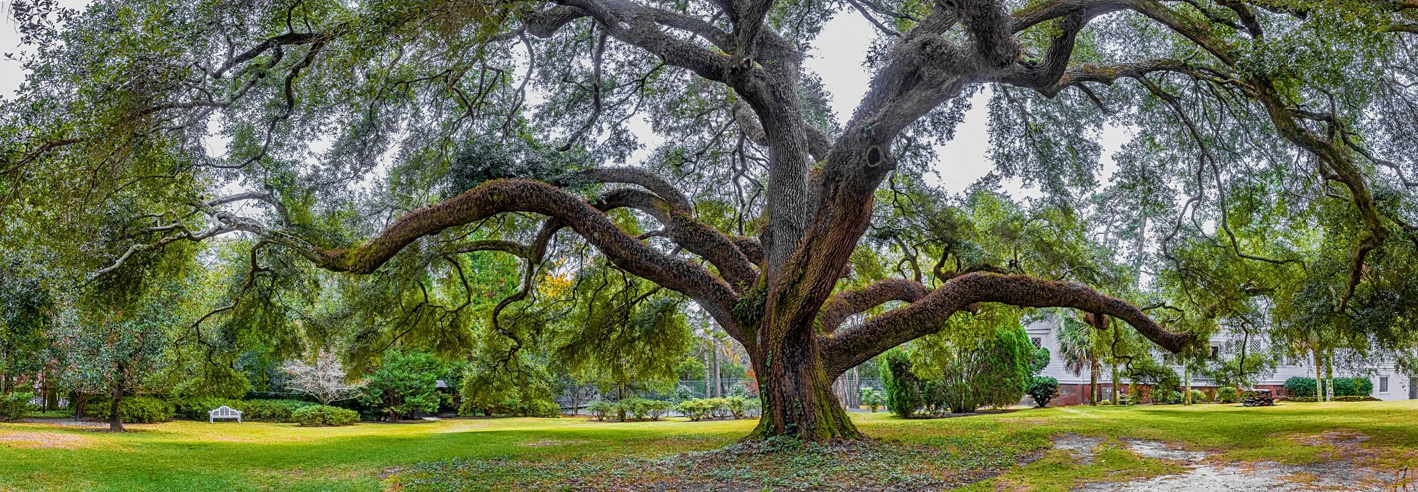 Panoramic of Live Oak Tree on First Avenue, Aiken, SC | Live oak trees,  Tree, Live oak