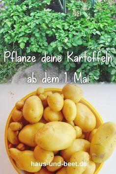 Kartoffeln pflanzen – So gelingt dir eine reiche Ernte - Kartoffeln pflanzen – So gelingt dir eine reiche Ernte -