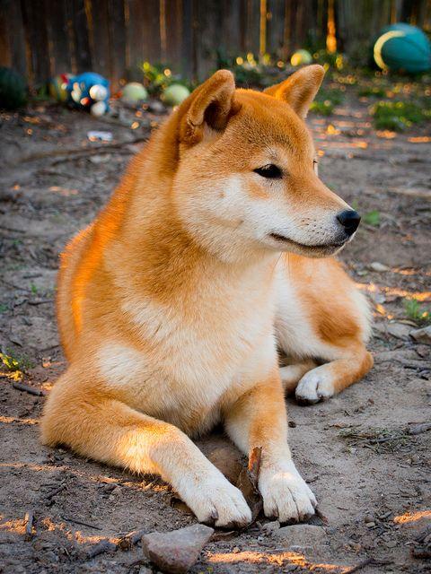 Pa050338 Japanese Dogs Shiba Inu Dog Shiba Inu