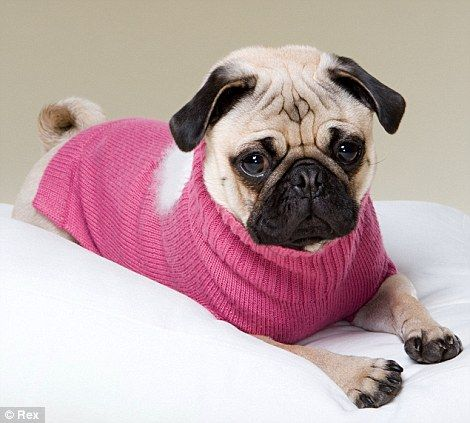 Snug As A Pug The Canine Fashion Season Has Begun And One Breed