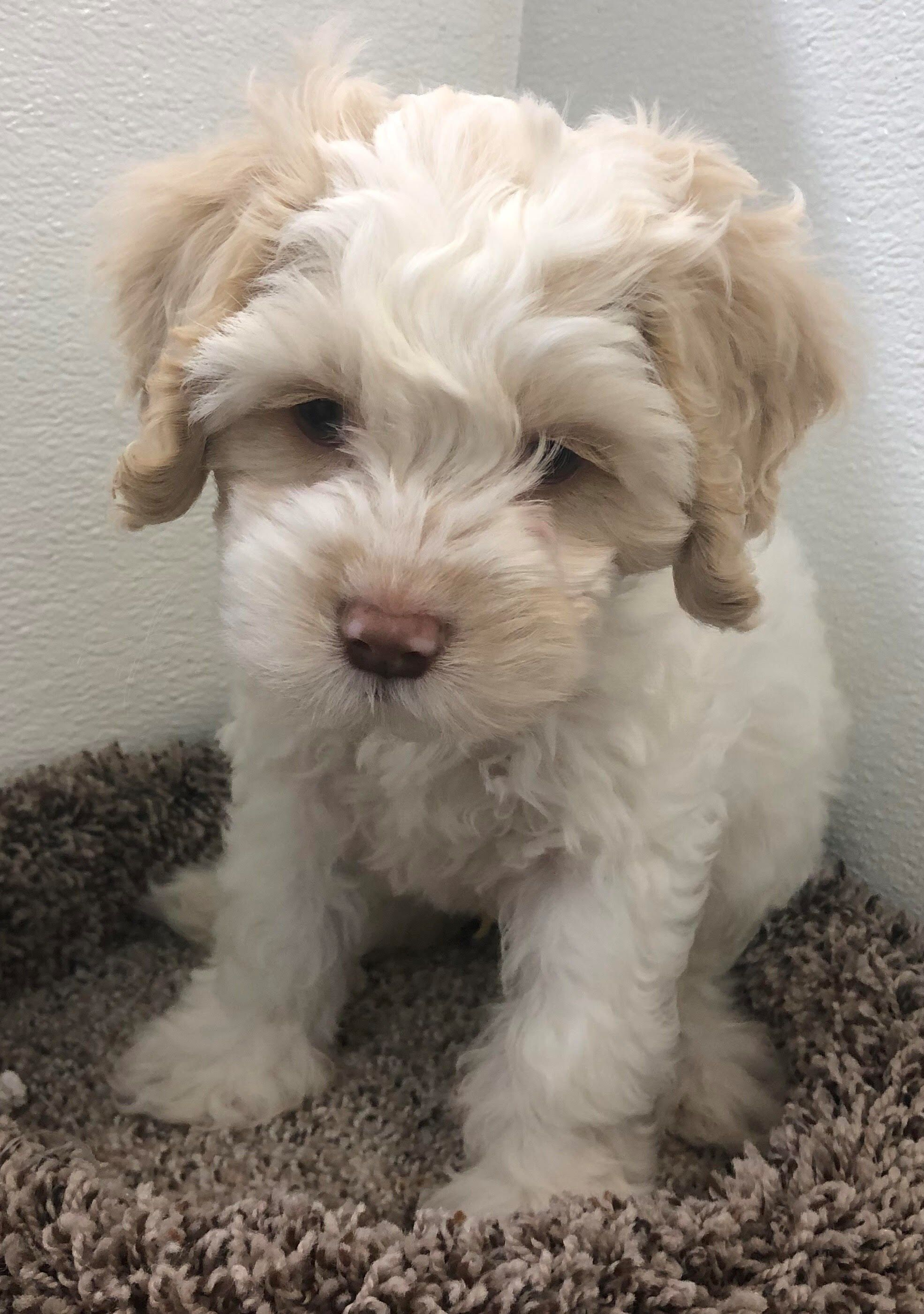Petland Kansas City Has Cockapoo Puppies For Sale Check Out All