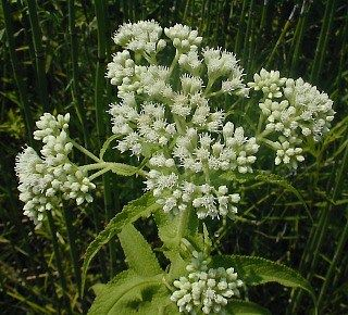 Boneset Plants Planting Herbs Herbs