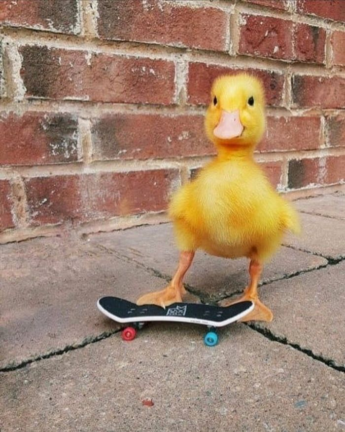Coolest duckling ever