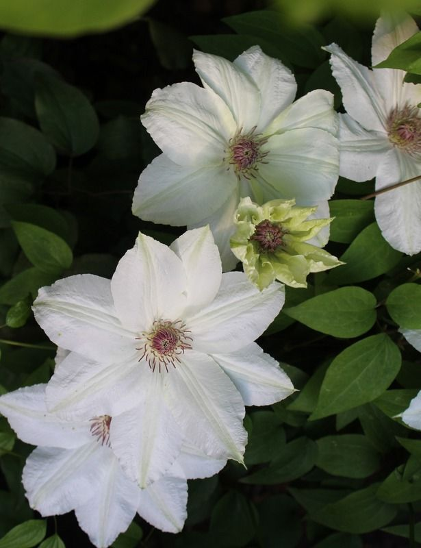 Fuyu No Tabi Clematis Clematis Plants Colorful Flowers