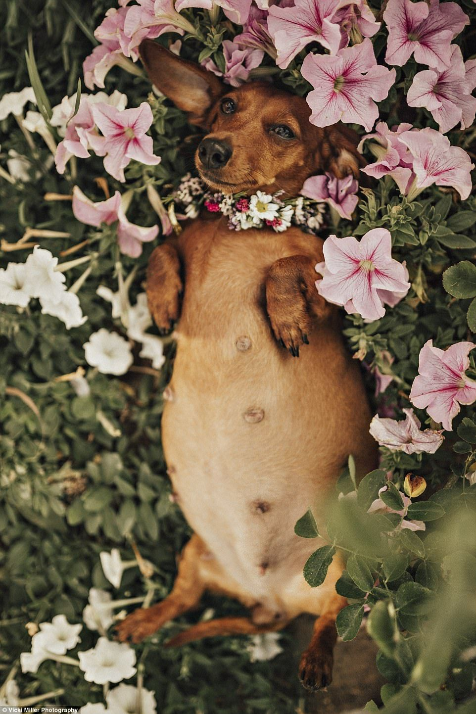 Woman Stages Intimate Maternity Shoot For Her Pregnant Pooch Cindi