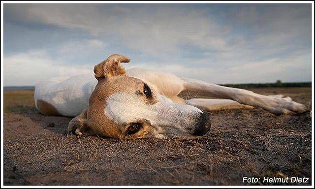 ungarischer windhund