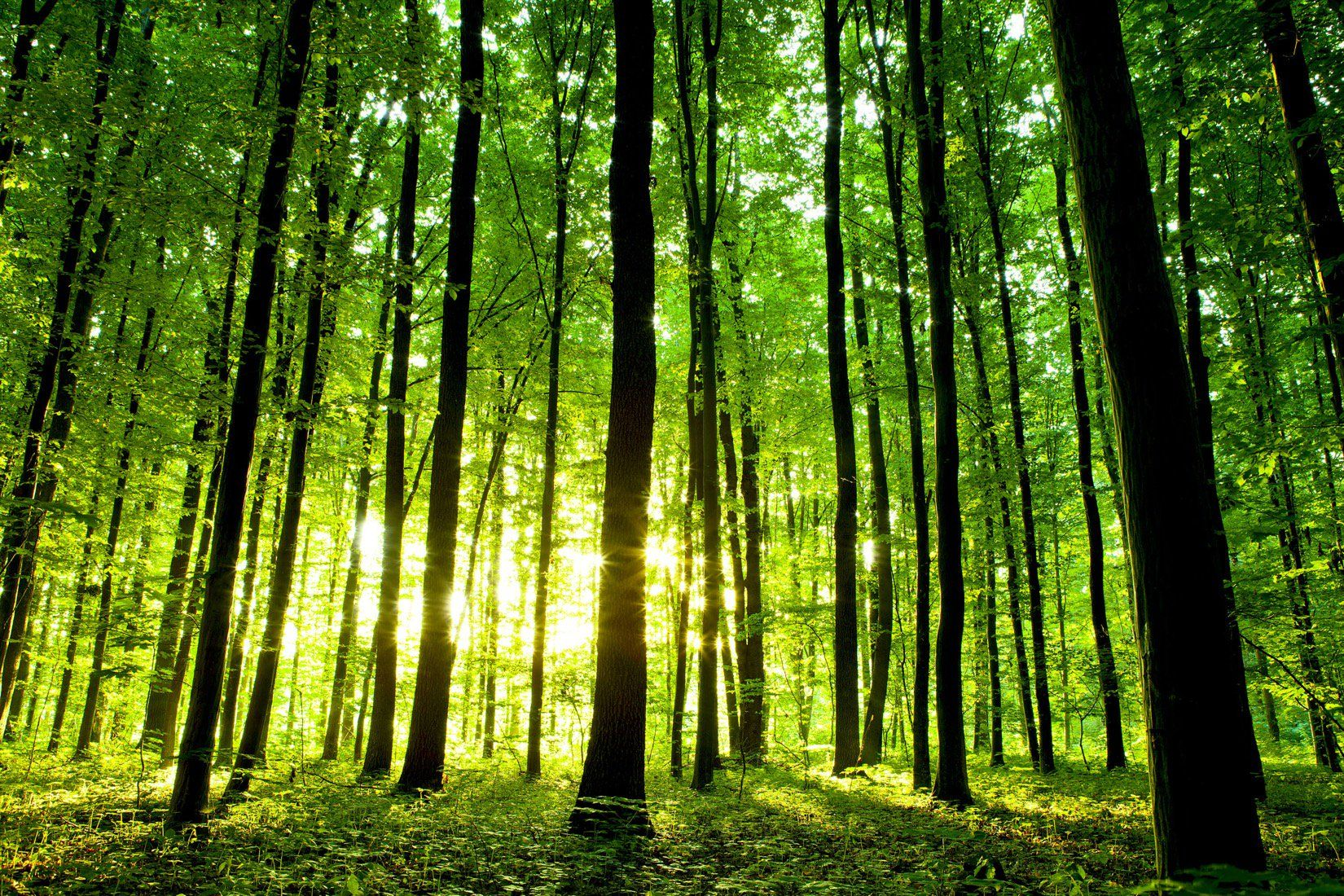 Light Forest Wallpaper Green Forest Style