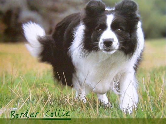Border Collie Collie Dog Border Collie Lover Border Collie