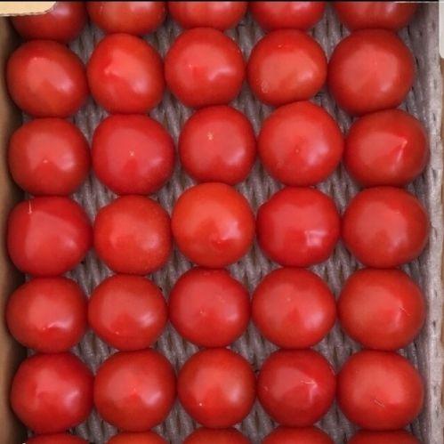福井県産有機栽培ミディトマト越のルビー四キロ