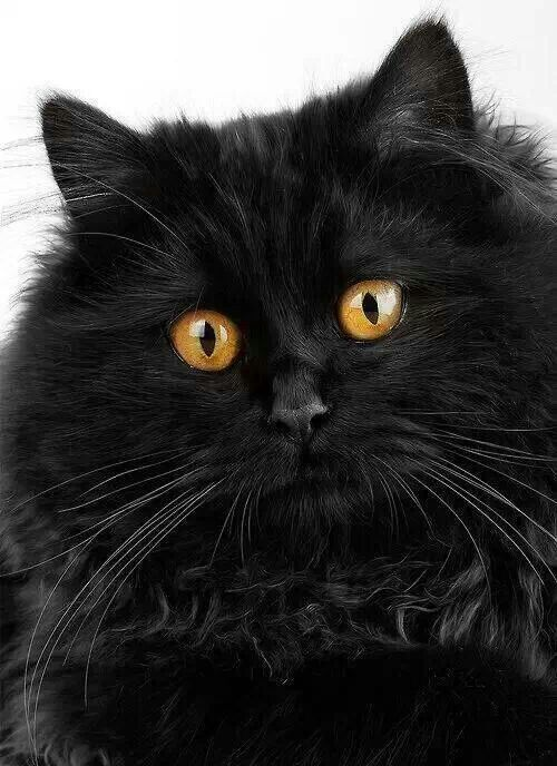 Fluffy Black Kittens With Blue Eyes Fluffy black cat with ...