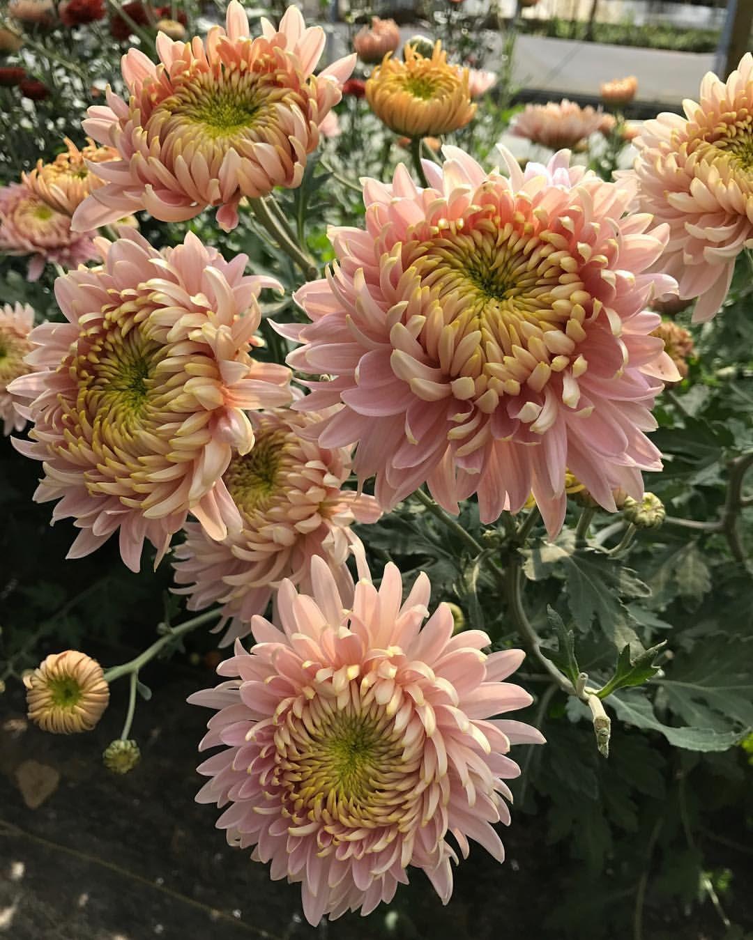 Pin by windy city girl on flowers flowers beautiful flowers plants